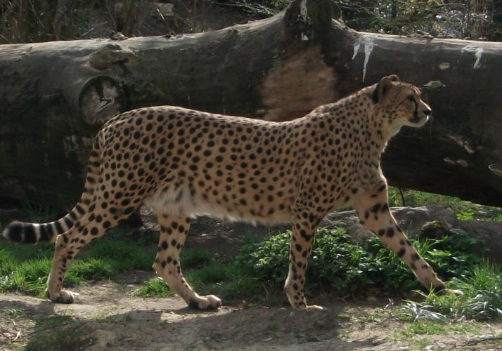 Gepard (Tierpark Hellabrunn)