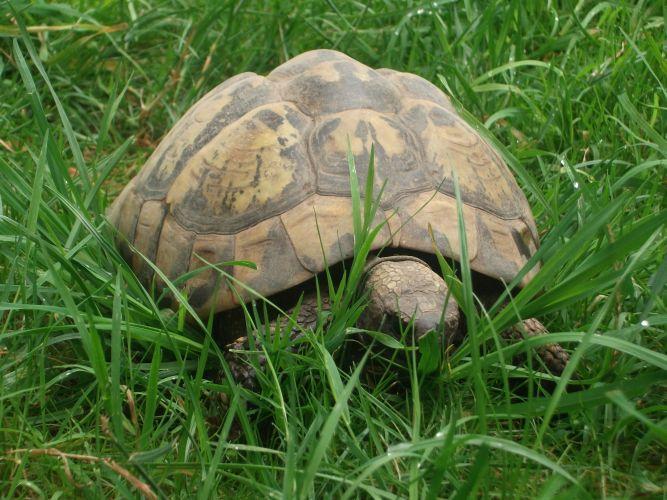 Griechische Landschildkröte (Tiergarten Wels)
