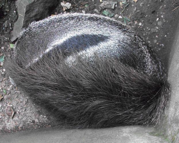 Großer Ameisenbär (Zoo Duisburg)