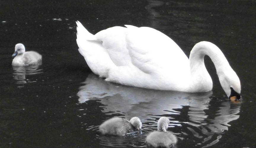 Höckerschwan (Vogelpark Abensberg)