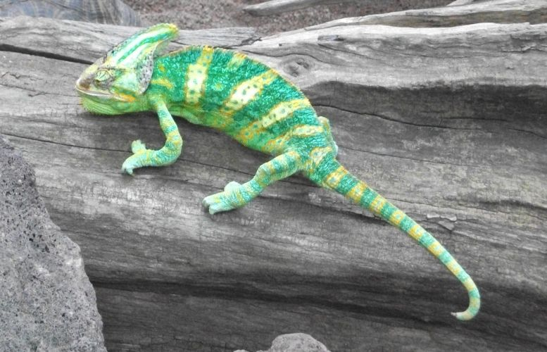 Jemenchamäleon (Zoo Leipzig)