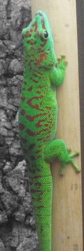 Madagaskar-Taggecko (Tiergarten Straubing)