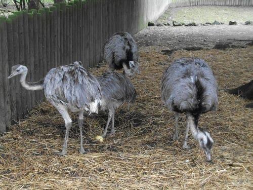 Nandu (Zoo Augsburg)