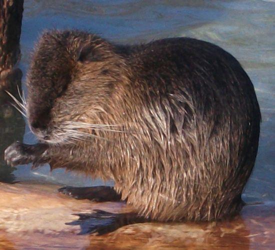 Nutria (Wildpark Poing)