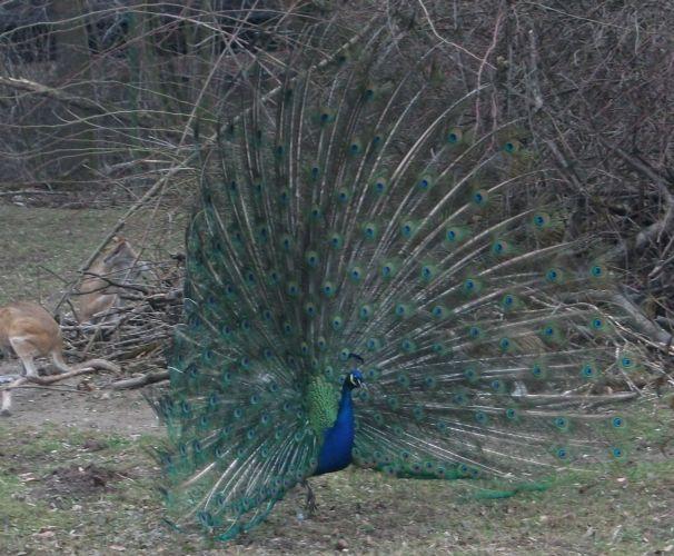 Blauer Pfau, Hahn (Tierpark Hellabrunn)