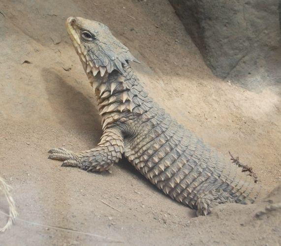 Riesengürtelschweif (Zoo Frankfurt)