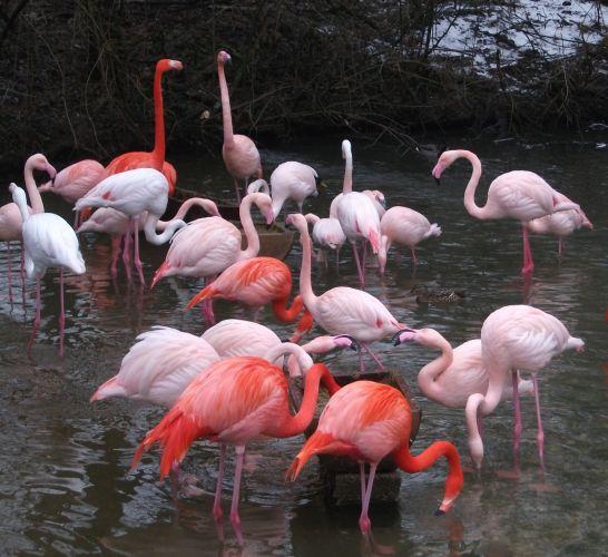 Rosa- und Kubaflamingos (Tierpark Hellabrunn)