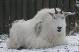 Schneeziege (Zoo Augsburg)