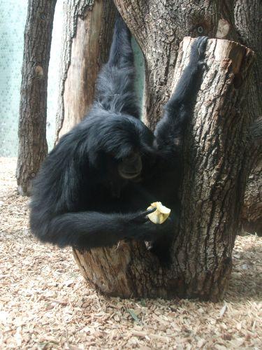 Siamang (Tierpark Hellabrunn)