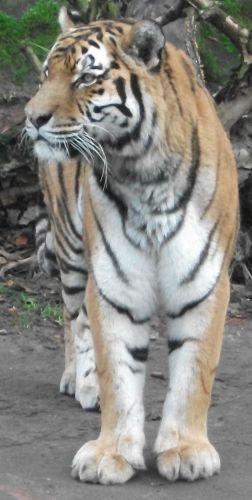 Tiger (Tiergarten Nürnberg)