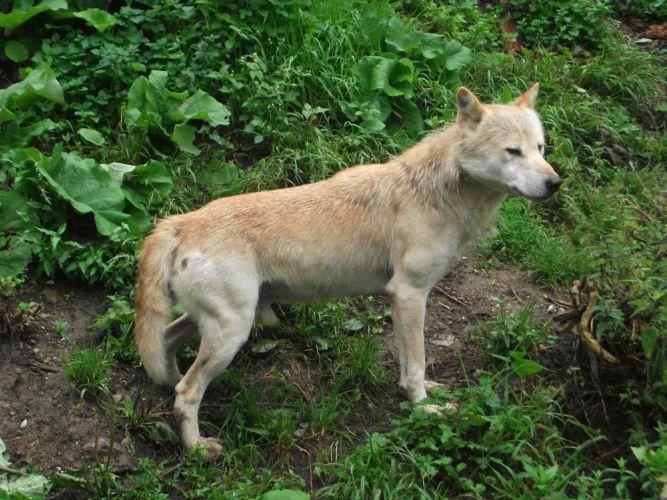 Wolf (Zoo Salzburg)