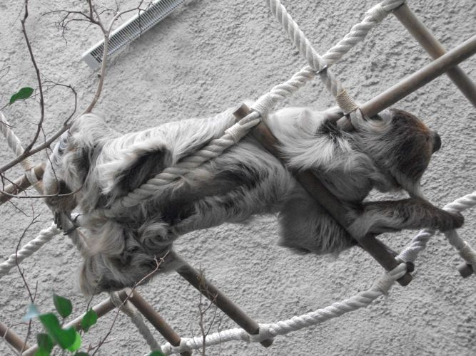 Zweifingerfaultier (Tierpark Hellabrunn)