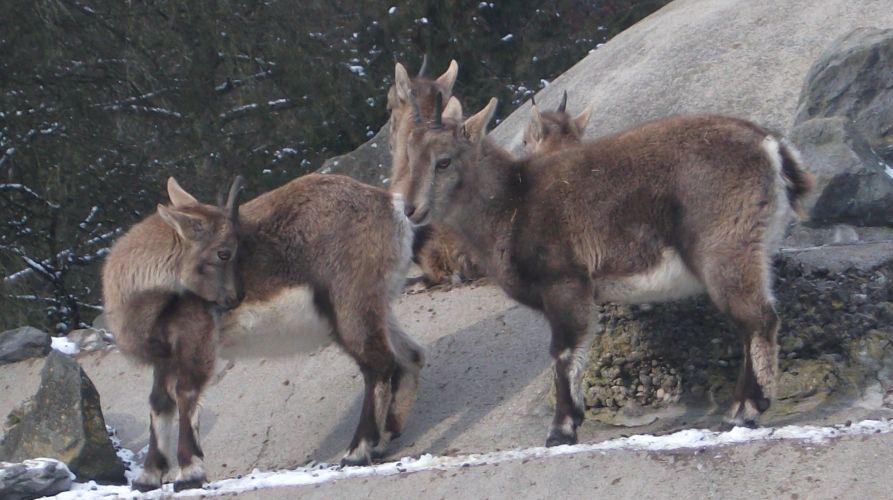 Alpensteinbock (Zoo Augsburg)