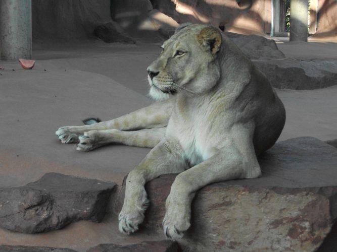 Berberlöwe (Thüringer Zoopark)