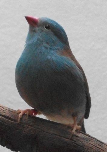 Blaukopf-Schmetterlingsfink (Zoo Frankfurt)