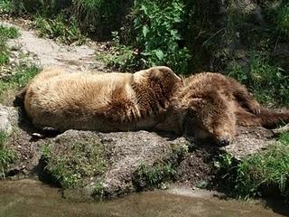Braunbär (Zoo Salzburg)