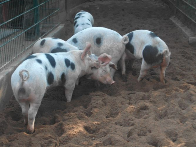 Buntes Bentheimer Schwein (Tiergarten Nürnberg)