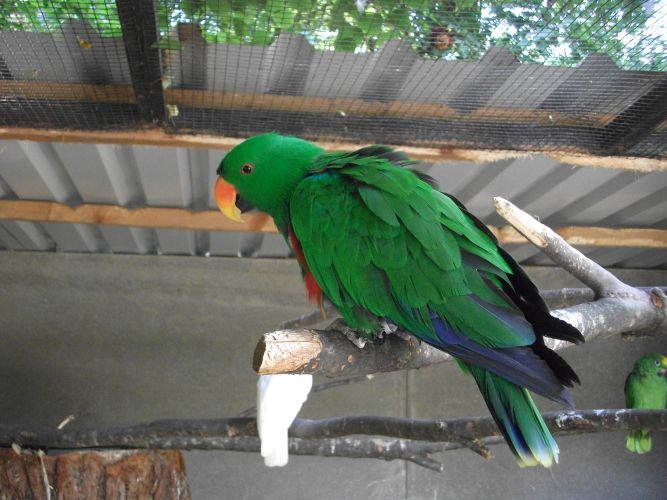 Edelpapagei, Männchen (Vogelpark Irgenöd)