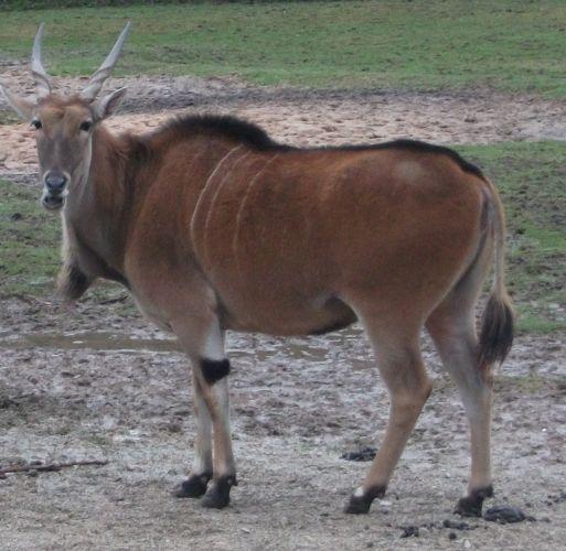 Elenantilope (Tiergarten Nürnberg)