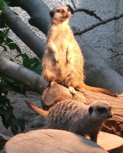 Erdmännchen (Tiergarten Straubing)