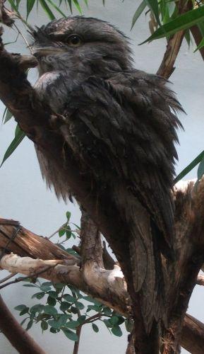 Eulenschwalm (Zoo Frankfurt)