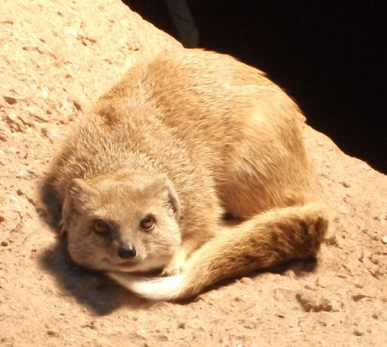 Fuchsmanguste (Zoo Dortmund)