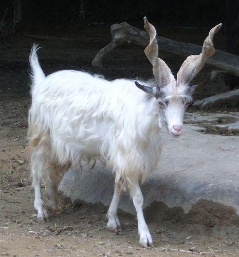 Girgentanaziege (Tierpark Hellabrunn)