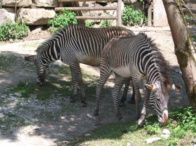 Grevy-Zebra (Zoo Salzburg)