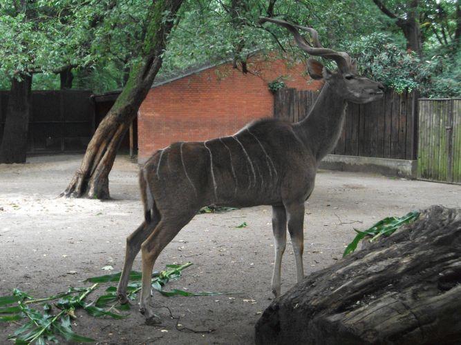 Großer Kudu (Zoo Duisburg)
