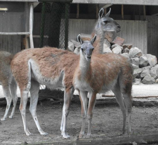 Guanako (Zoo Osnabrück)