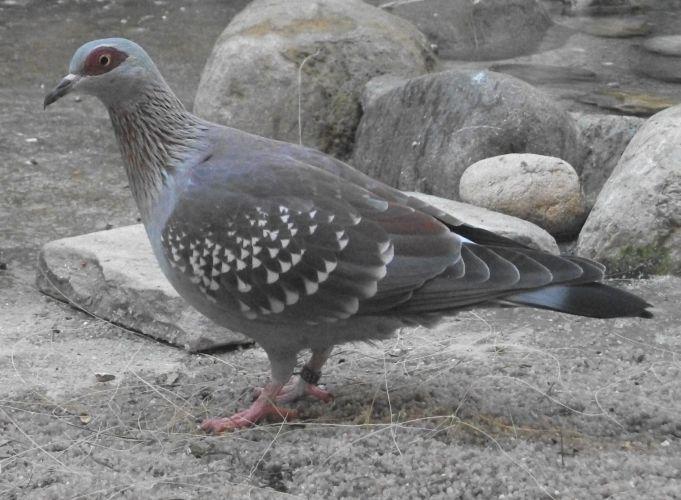 Guineataube (Zoo Augsburg)