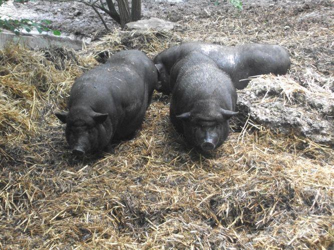 Hängebauchschwein (Tiergarten Wels)