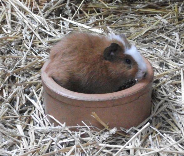 Hausmeerschweinchen (Tierpark Hellabrunn)