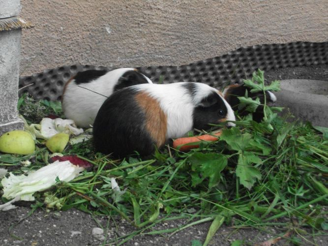 Hausmeerschweinchen (Zoo Salzburg)