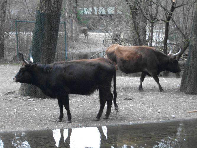 Heckrind (Tierpark Hellabrunn)
