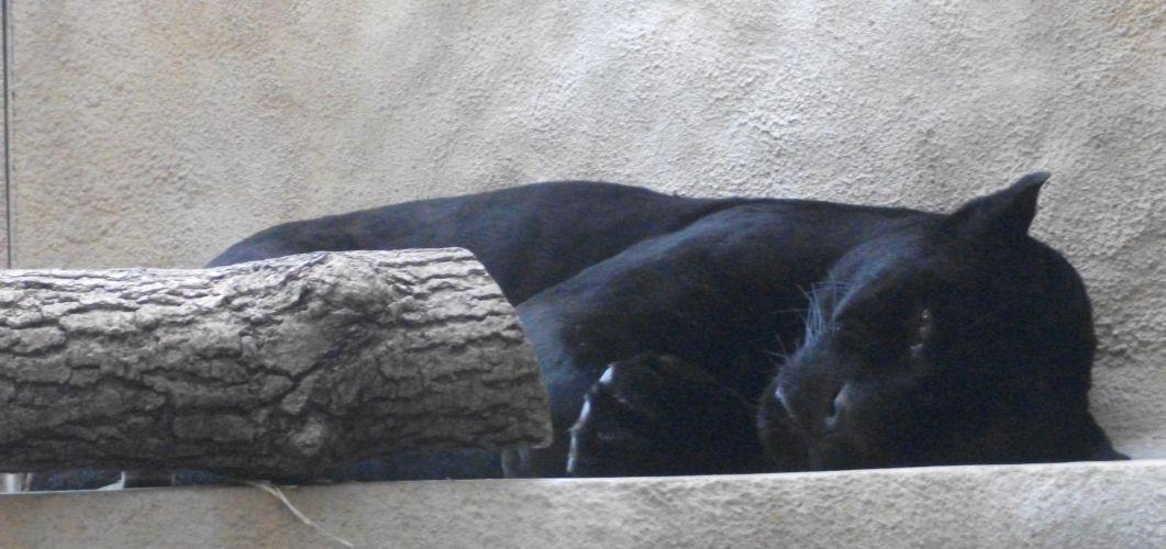 Jaguar, schwarz (Tierpark Hellabrunn)