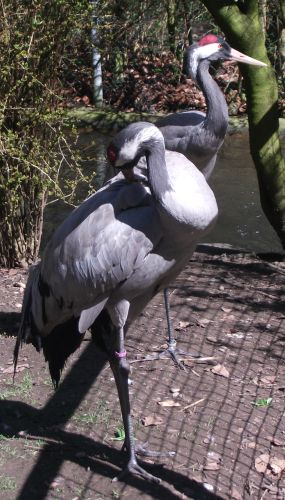 Kranich (Zoo August)