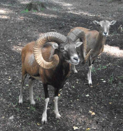 Mufflon (Wildpark Poing)