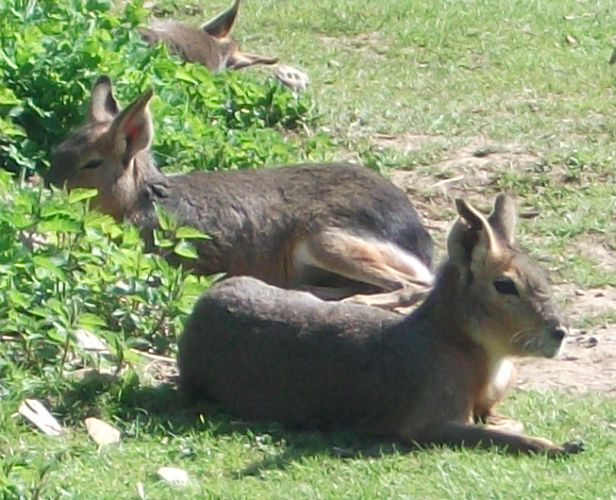 Pampashase (Tierpark Hellabrunn)