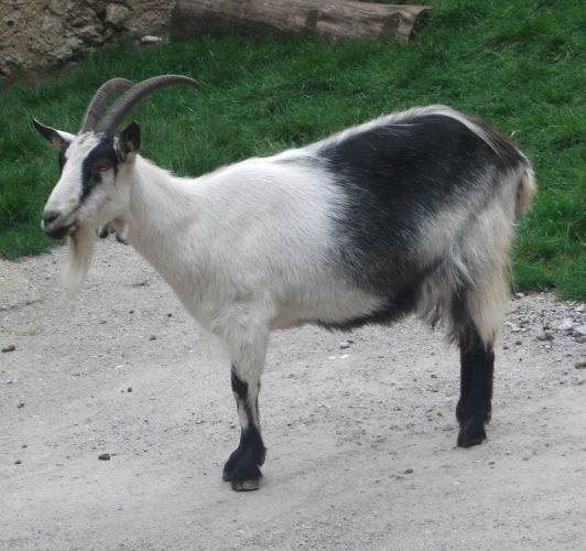 Pfauenziege (Zoo Salzburg)