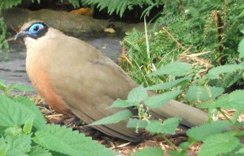 Riesenseidenkuckuck (Weltvogelpark Walsrode)