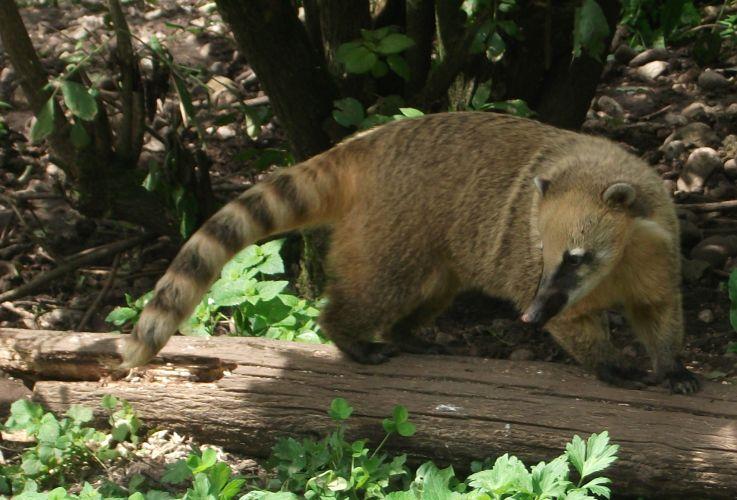 Südamerikanischer Nasenbär (Raritätenzoo Ebbs)