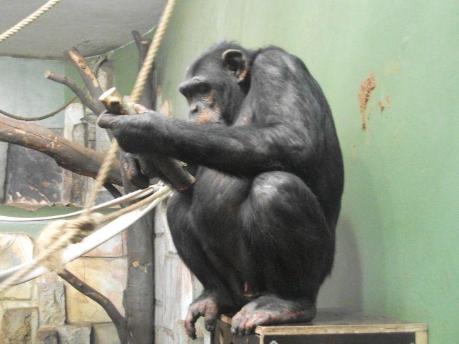Schimpanse (Zoo Augsburg)