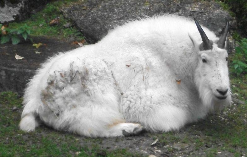 Schneeziege (Tierpark Hellabrunn)