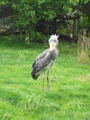 Schuhschnabel (Weltvogelpark Walsrode)
