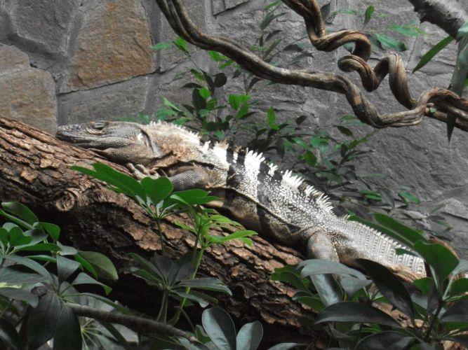 Schwarzer Leguan (Tiergarten Straubing)