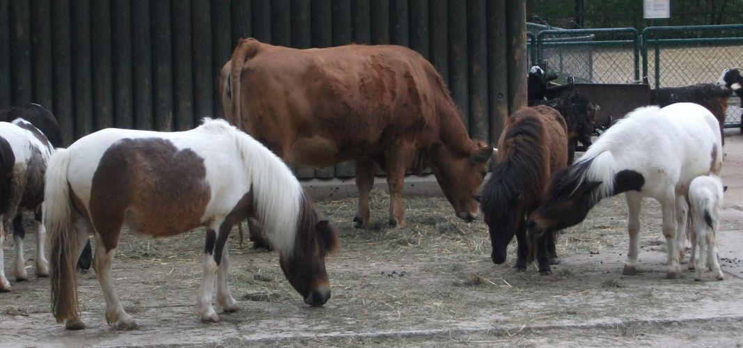 Shetlandpony und Murnau-Werdenfelser Rind (Tierpark Hellabrunn)