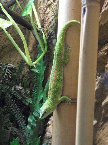 Madagaskar-Taggecko (Thüringer Zoopark)