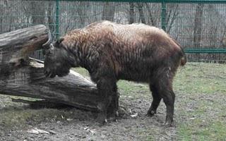 Takin (Zoo Augsburg)