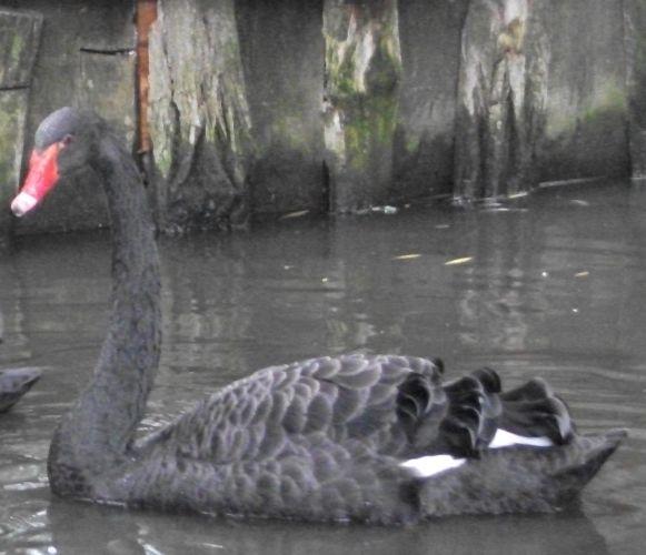 Trauerschwan (Tierpark Haag)